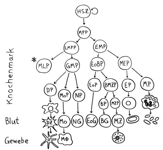 P1150525_hämatopoietischer_Stammbaum_myeloischer_Zweig_650