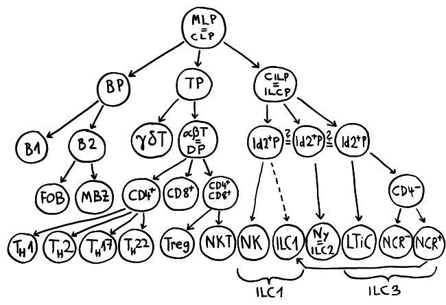 P1150533_hämatopoietischer_Stammbaum_lymphoider_Zweig_650