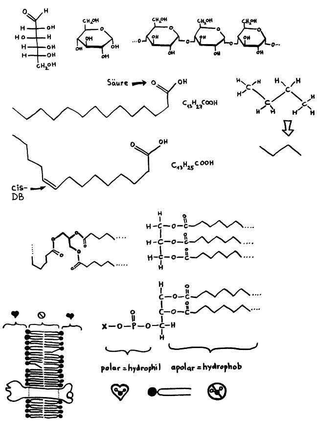 P1170261_Kohlenhydrate_Fette_Lipidmembran_650