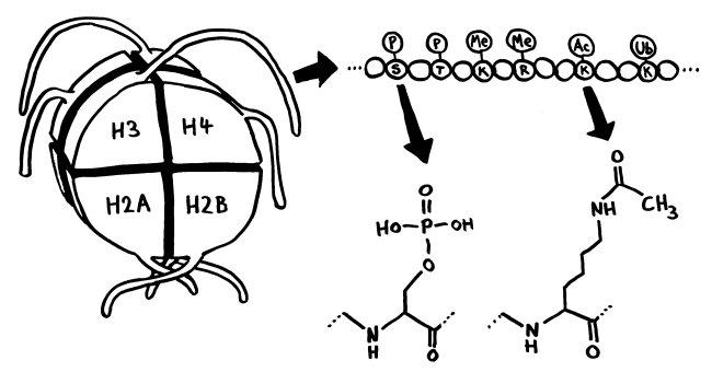 P1170271_Histonmodifikation_Phosposerin_Acetyllysin_650