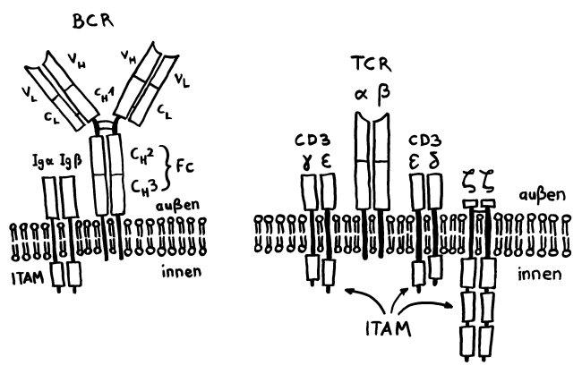 P1170274_Aufbau_BCR_TCR-Komplex_650