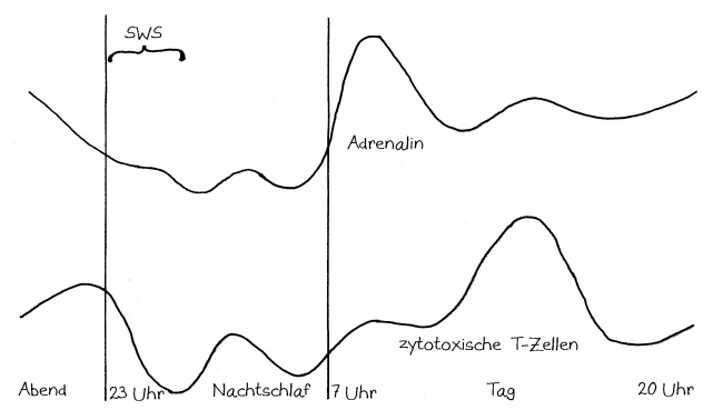 TagNacht_Adrenalin_zytotoxische_T-Zellen_beschriftet_Lange2011Fig6_650