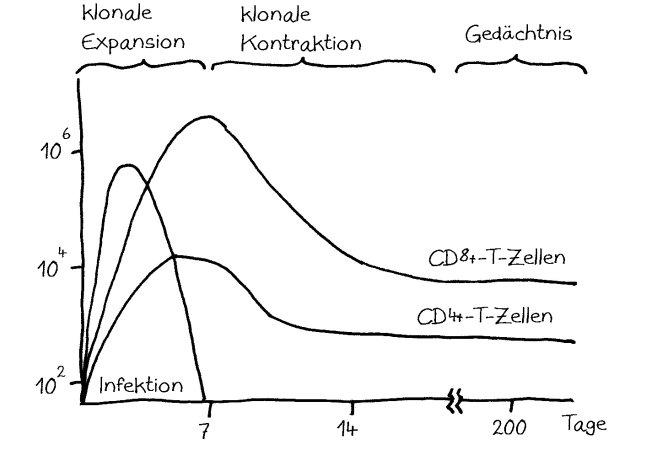 Zeitverlauf_klonale_Expansion_Kontraktion_CD4_CD8_650n