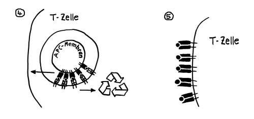 P1260656_Trogozytose_fertig_4-5_500