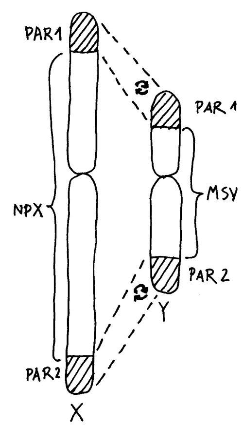 X_Y_Chromosom_PAR_500