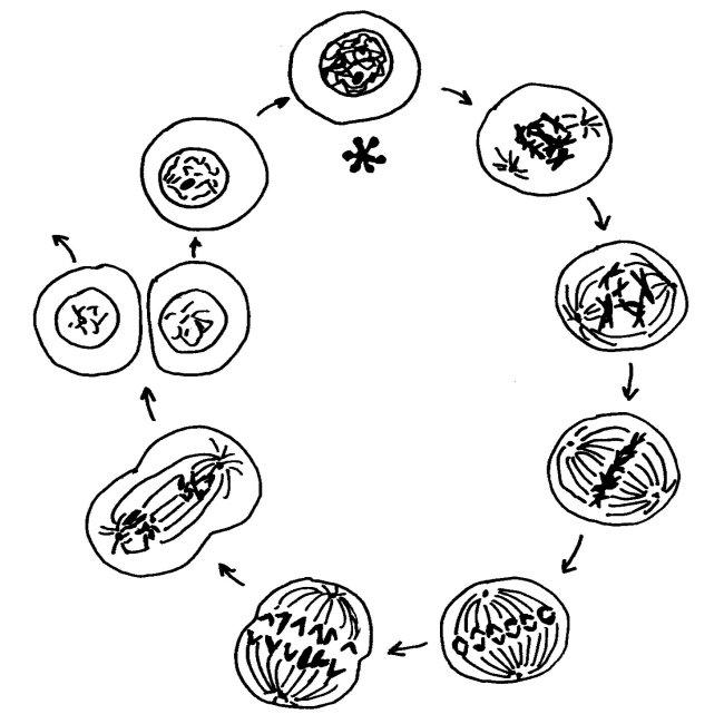 Zyklus_Mitose_und_Interphase_650