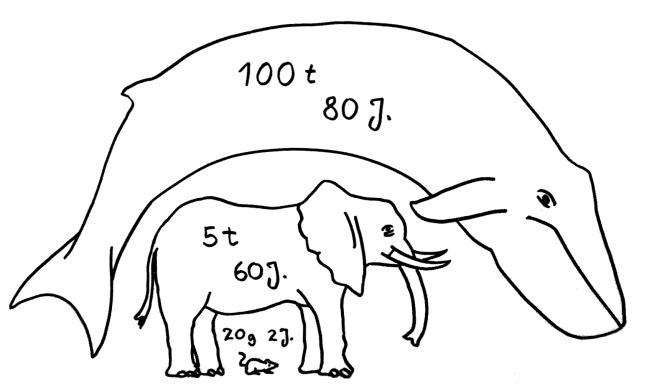 Petos Paradox: Obwohl Wale älter werden und sehr viel mehr Zellen enthalten als Mäuse, sterben sie nicht sehr viel öfter an Krebs.