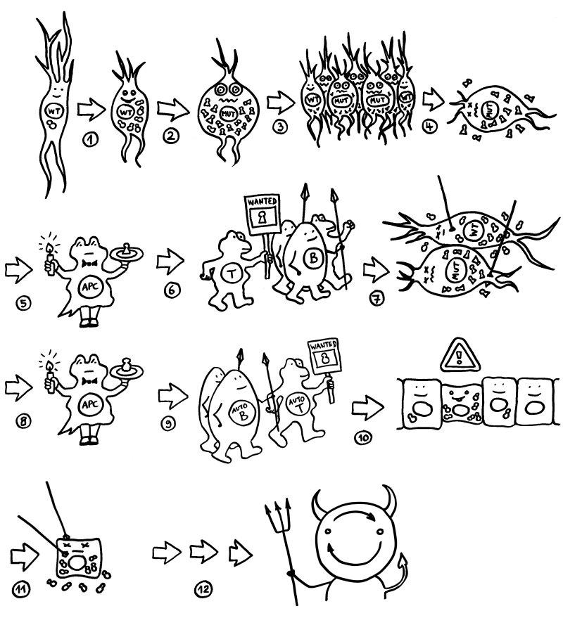 zelluläre immunabwehr einfach erklärt