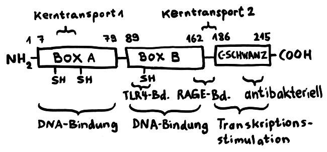 P1070879_HMGB1_Aufbau_und_Funktionsstellen_650