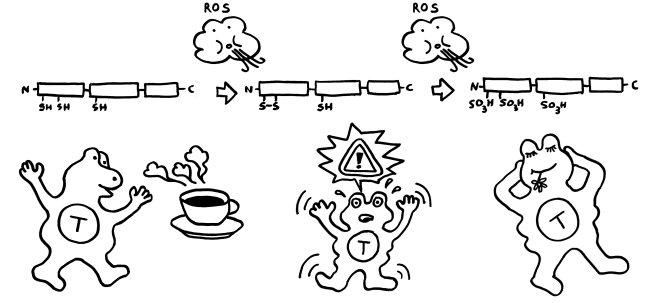 P1070882_HMGB1_Oxidationsstadien_und_Funktionen_komplett_650