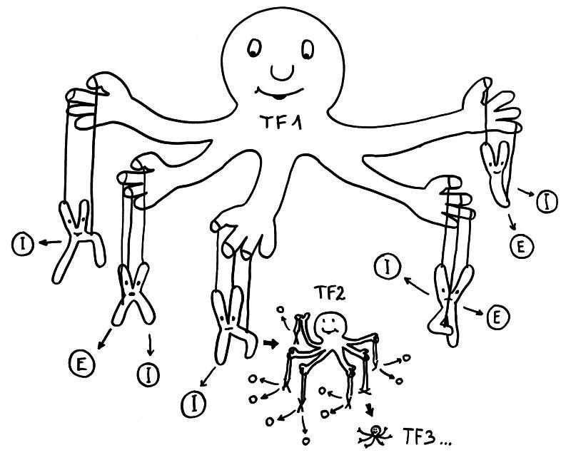 Geschlechtsspezifische Transkriptionskaskade: Transkriptionsfaktor 1 fördert die Ablesung vieler Immunsystem- (I) und Entzündungsprozess-Gene (E) auf etlichen Chromosomen - und auch die Expression von Transkriptionsfaktor 2, der zahlreiche weitere Gene reguliert, usw.